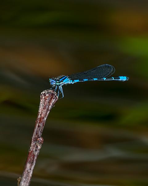 Bluet sp.