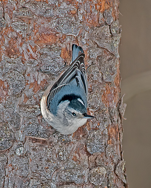White-breasted Nuthatch #4
