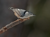White-breasted Nuthatch #1