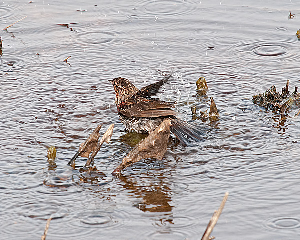 Red-winged Blackbird (female) Bathing