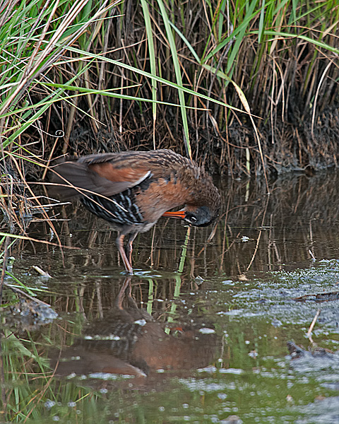 Virginia Rail Grooming