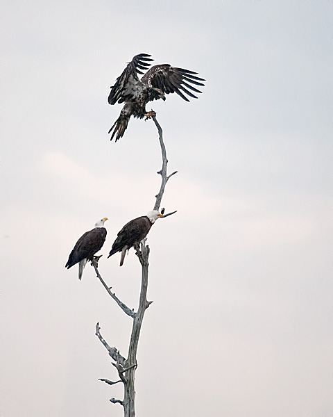 Fledgeling Bald Eagle with Parents