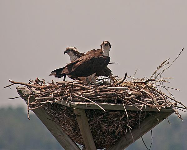 Osprey #2