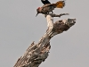 Northern Flicker and Red-winged Blackbird