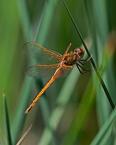 Needham's Skimmer (male)