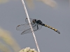 Seaside Dragonlet (female)