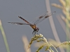 Four-spotted Pennant (female)