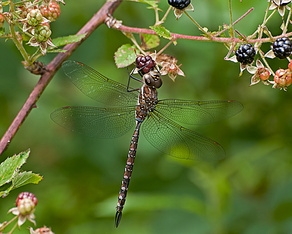 Shadow Darner (female)