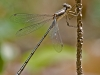 Spreadwing (female)