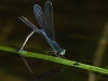 Eastern Forktail (female, ovipositing)