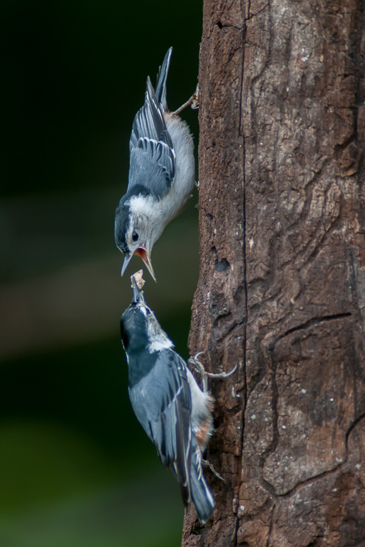 Nuthatchs - Adult (bottom) Feeding Juvenile