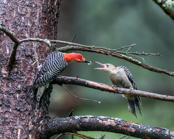 Red-bellied Woodpeckers - Adult (left) Feeding Juvenile Sequence 1 of 3