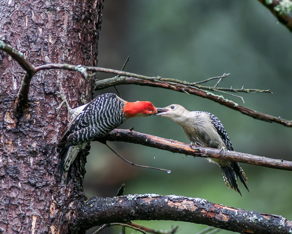 Red-bellied Woodpeckers - Adult (left) Feeding Juvenile Sequence 2 of 3