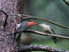 Red-bellied Woodpeckers - Adult (left) Feeding Juvenile Sequence 3 of 3