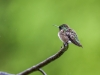 Ruby-throated Hummingbird #2