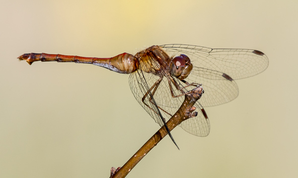 Autumn Meadowhawk (