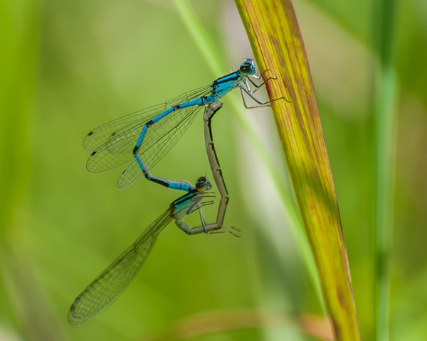 Bluet Mating Wheel