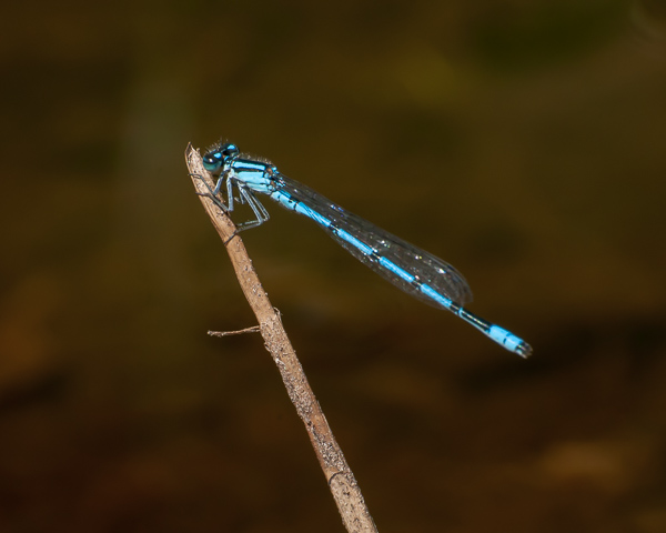 Bluet (male)