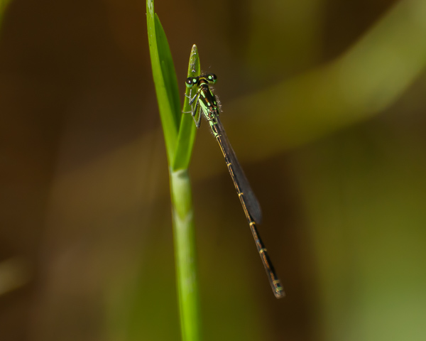 Fragile Forktail (male)
