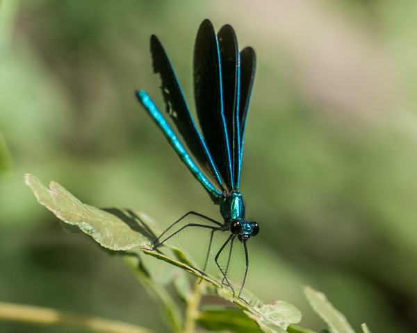 Ebony Jewelwing (male) #2
