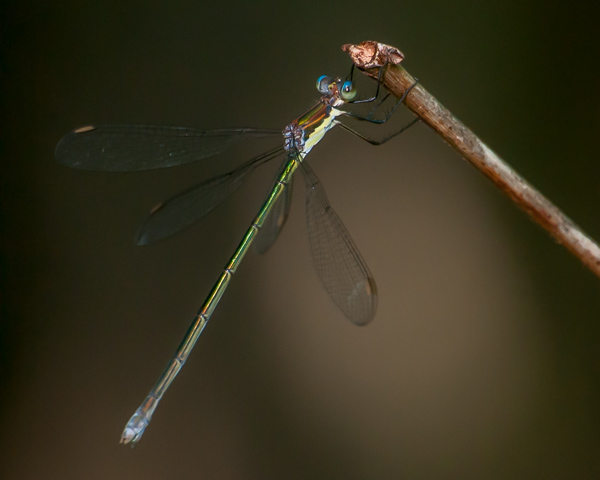Spreadwing (male) probably a Northern