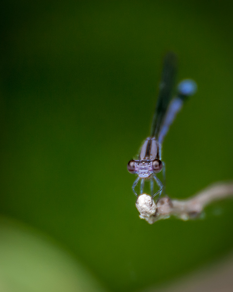 Variable Dancer (male)
