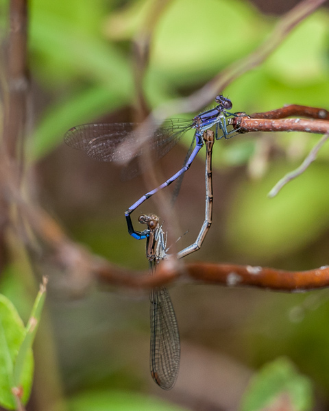 Variable Dancer Mating Wheel