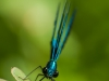 Ebony Jewelwing (male) #1