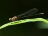 Female Bluet (Miller's River, Athol, MA)