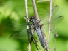 Chalk-fronted Corporal (male) #1