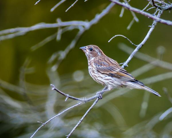 Purple Finch (female) #2