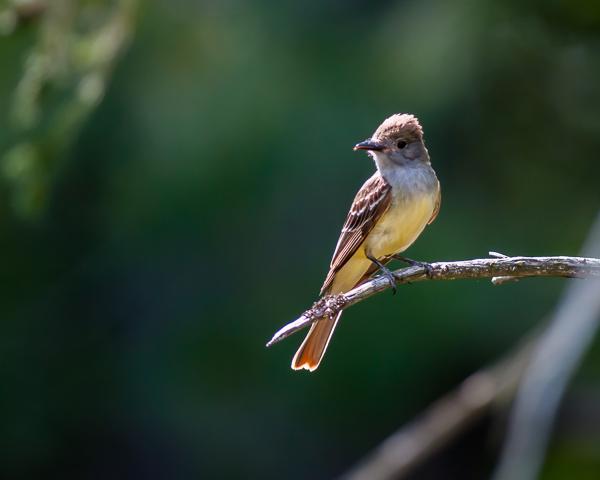 Eastern Pheobe (juvenile)