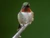 Ruby-throated Hummingbird (male) #2