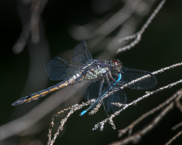 Slaty Skimmer (female) with Prey (Male Bluet)