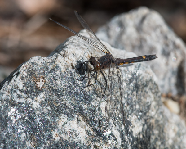 Dot-tailed Whiteface (male)