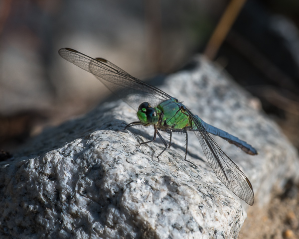 Common Pondhawk (immature male)
