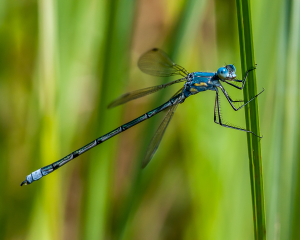 Amber-winged Spreadwing (male, immature)