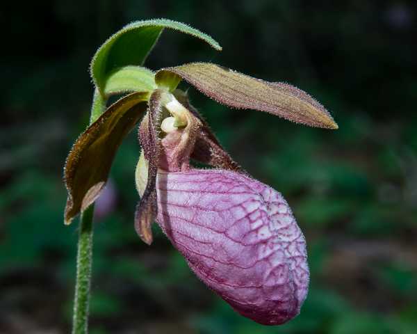 Lady Slipper #3