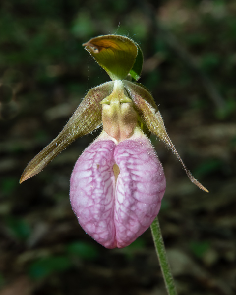 Lady Slipper #4