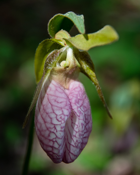 Lady Slipper #5