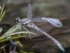 Arrow Clubtail (male; teneral) #2