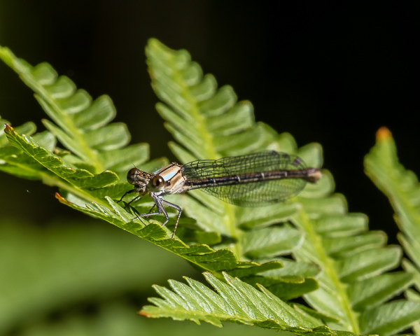 Damselfly #2 (id needed)