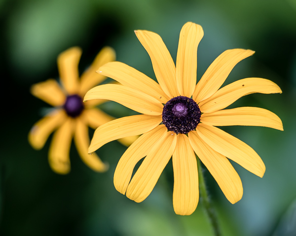 Black-eyes Susans