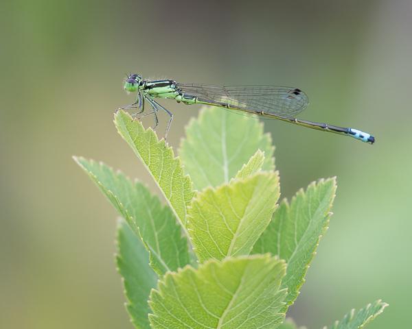 Eastern Forktail (male)