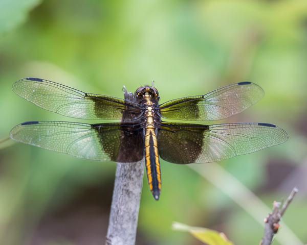 Widow Skimmer (immature male)