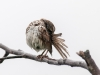 Song Sparrow Preening