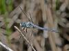 Great Blue Skimmer (male)
