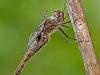 Common Baskettail (female)