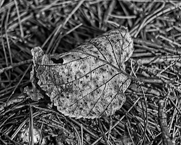 Early Autumn Leaf #1