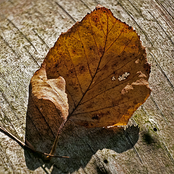 Early Autumn Leaf #2